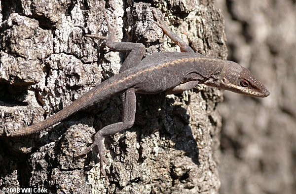 brown Green Anole (Anolis carolinensis)