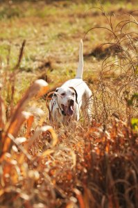 Much of the delight of hunting quail and other upland game birds on hunting preserves is watching the world of quailty dogs.