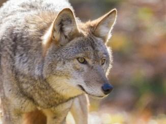 coyote classic
