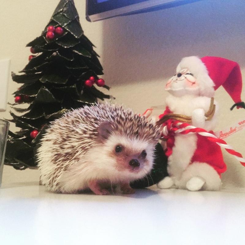 Carolina Storm Hedgehog