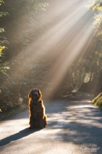 Flat-coated Retriever - Leo - sunshine