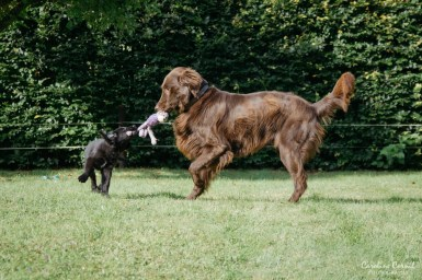 Flat-coated Retrievers - Leo and Ben playing
