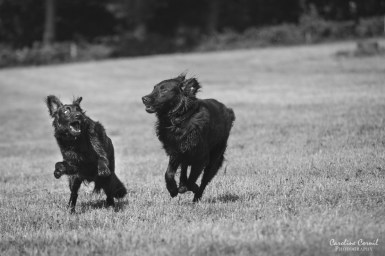 Flat-coated Retrievers - Leo and Ben running