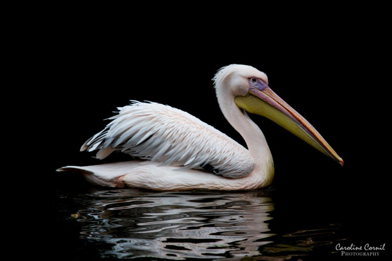 Pelican - black background