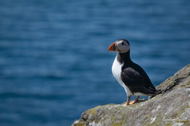 Puffin - Isle of May