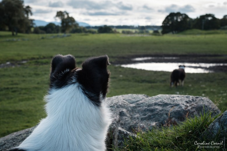 Sheepdog - Border Collie