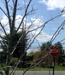 Dead or dormant Hawthorne tree.