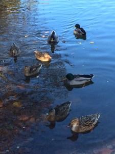 Ducks wait