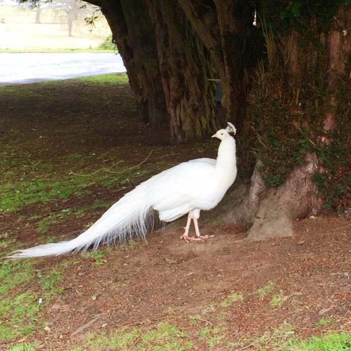 White Peacock at Scone Palace