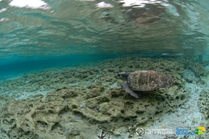 Torre Guaceto tartarughe marine