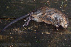 Rat musqué - Ondatra zibethicus