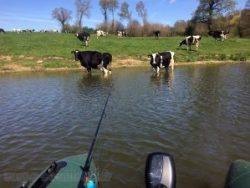 Vaches s'abreuvant à Rabodanges.