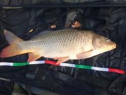 carpe commune du lac de Montbel (5.5 kg)