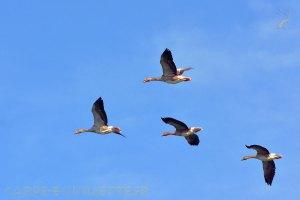 Oies cendrées au lac de Montbel