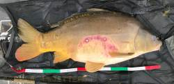 Carpe victime d'une attaque de silure (lac de Montbel)