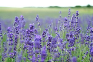CarpeDiem.fyi features God grant me serenity, field of lavenders inspired by Serenity Prayer