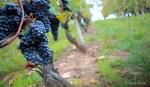 Alla scoperta dei vitigni: il Nebbiolo
