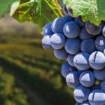 Alla scoperta dei vitigni: il Pinotage.