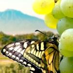 Alla scoperta dei vitigni: la Falanghina.