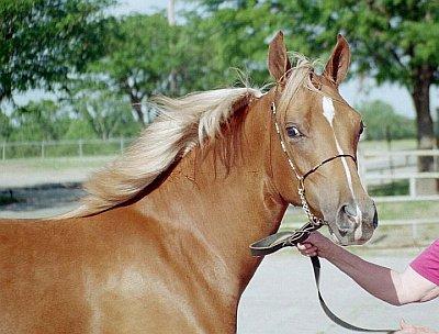 Direct Drawing Tutorial - Palomino Horse - Reference Photo