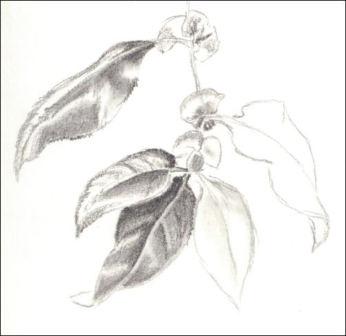 Importance of Drawing from Life - Leaf Study