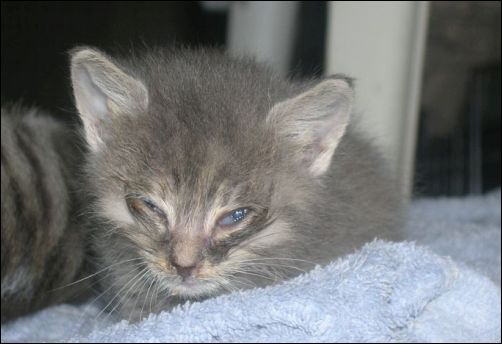 How the Kittens are Doing after Eight Weeks - Pee Wee in the Early Days