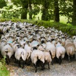 rears of sheep