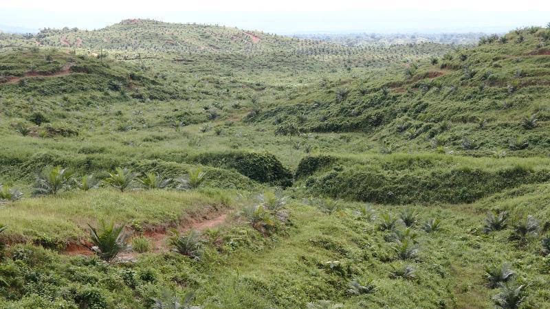 Plantaciones recientes de palma aceitera en Ecuador. Foto: Jheisson A. López