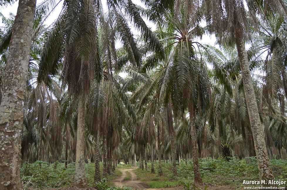 Las palmeras pueden dar producción hasta durante cuarenta años. En Camerún, muchas de las plantaciones empiezan a llegar ya a esa edad. Foto: Aurora M. Alcojor