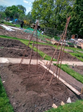 runner beans white lady seed wigwams