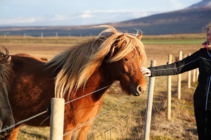 Icelandic Horses - photo by Carry-On Traveler