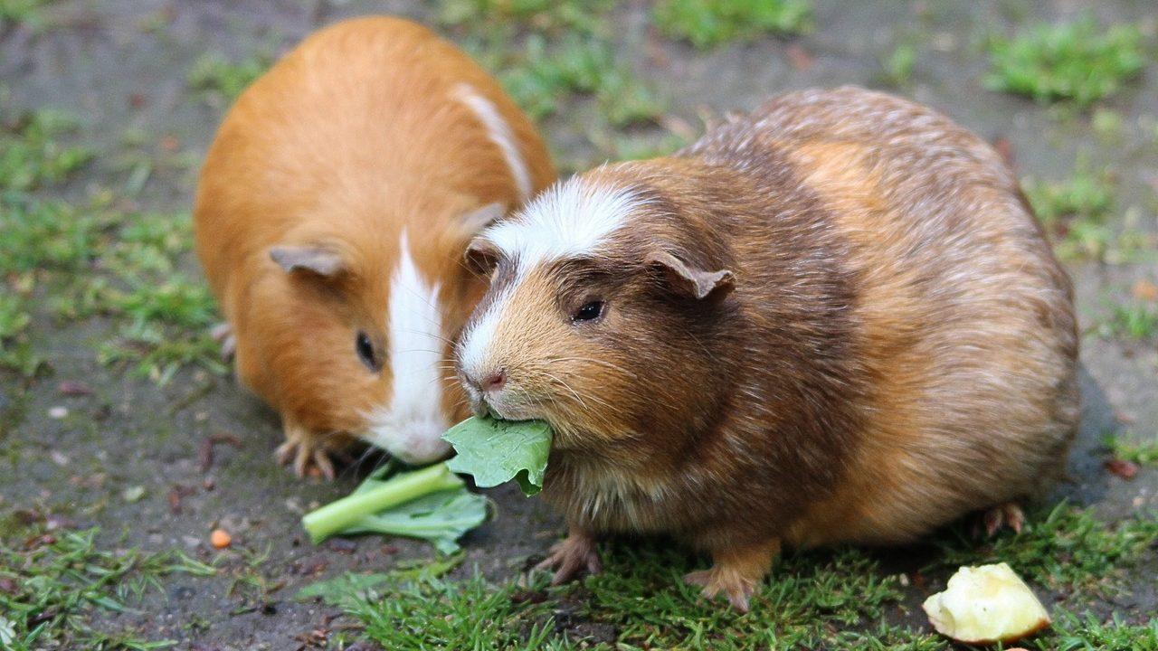 guinea-pig-guinea-pig-house-cavia-porcellus-form-domestica-50572