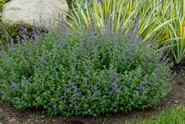 Walters Gardens Nepeta Kit-Cat