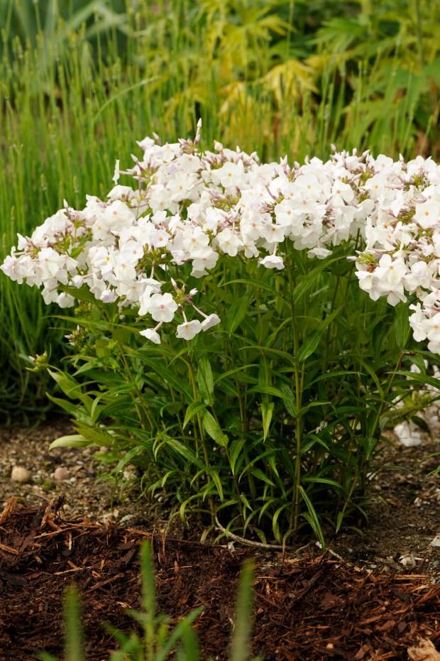 Walters Gardens Phlox Minnie Pearl