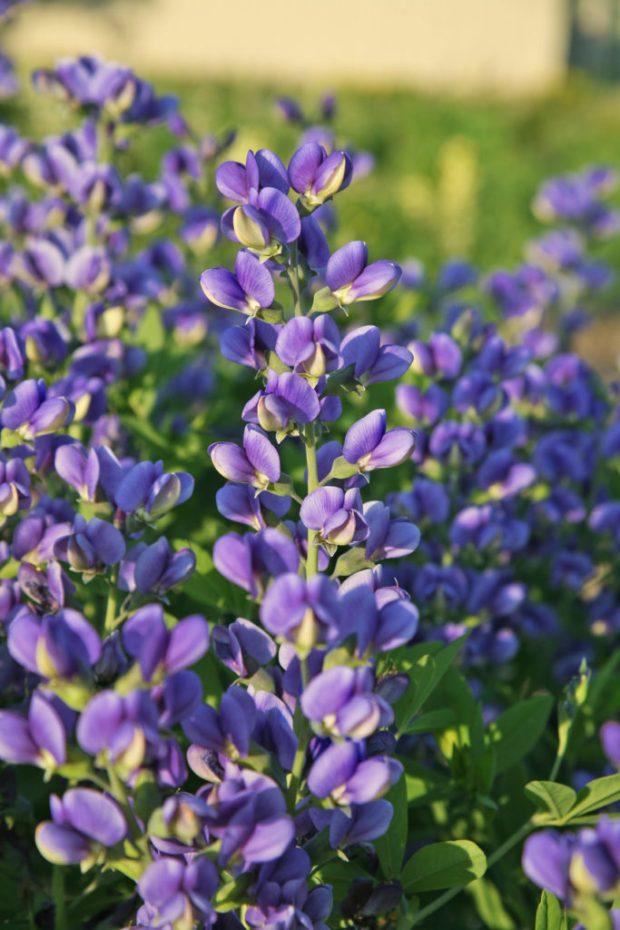 Walters Gardens Baptisia Decadence Trade Blueberry Sundae