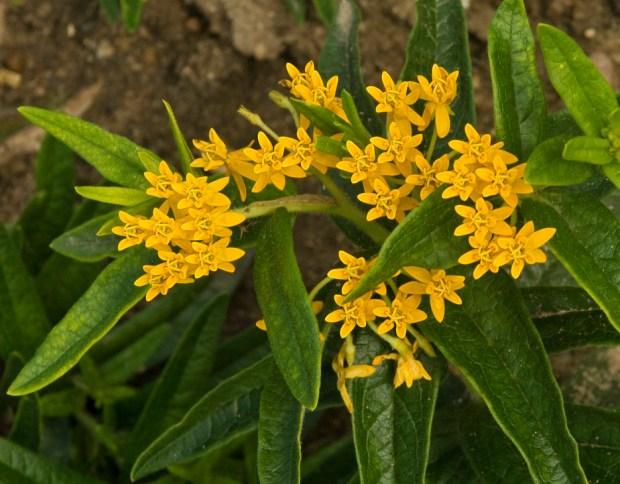 Walters Gardens Asclepias tuberosa Hello Yellow