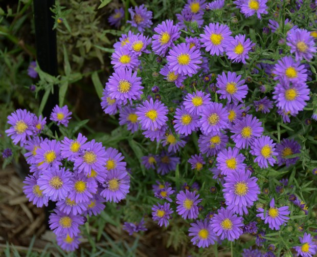 Walters Gardens Aster Kickin Trade Lilac Blue