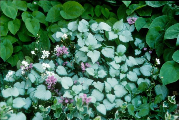 Walters Gardens Lamium Maculatum Beacon Silver