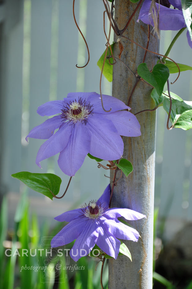 Clematis on pole