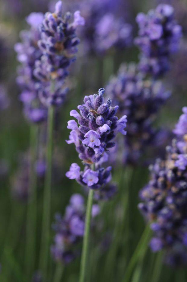 Lavender-SuperBlue-13953-DarwinPerennials
