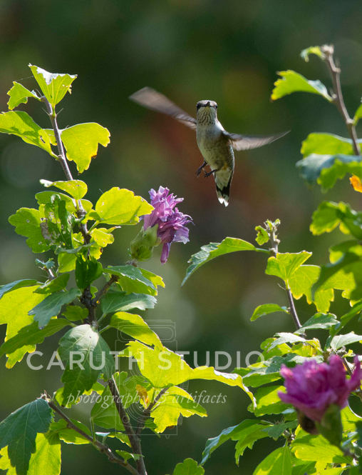 Hummingbirds hovering above a flower