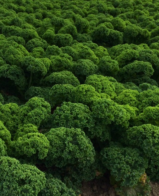 mounds of planted Kale