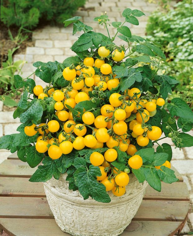 yellow tomato patio plant