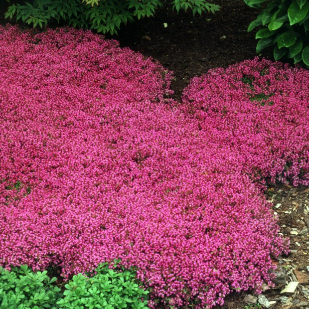 Walters Thymus 'Coccineus'