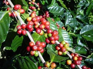 pianta_caffe1