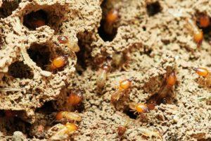 nesting termites
