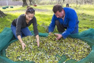 Sorting the olives