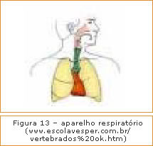 Figura 13 - Aparelho respiratório