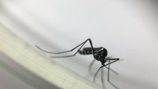 Febre Amarela mosquito transmissor