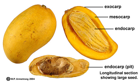 Diagram of a mango